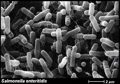 Patogénne baktérie z čelade Enterobacteriaceae