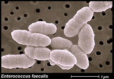 Baktérie z rodu Enterokokov